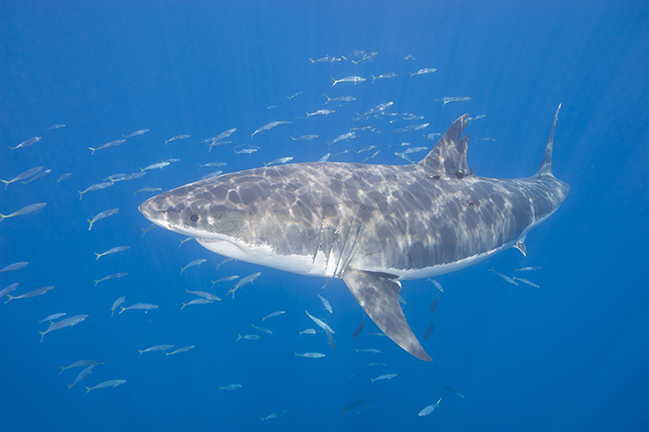 Guadalupe island great white shark adventure x ray mag for Guadalupe island fishing