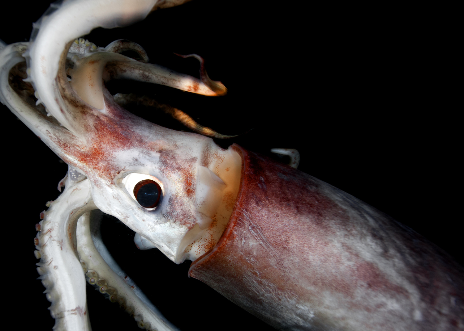 humboldt squid Learn where to find and how to catch big humboldt squid and, after doing so, how to turn them into a gourmet calamari dinner that will delight your guests.