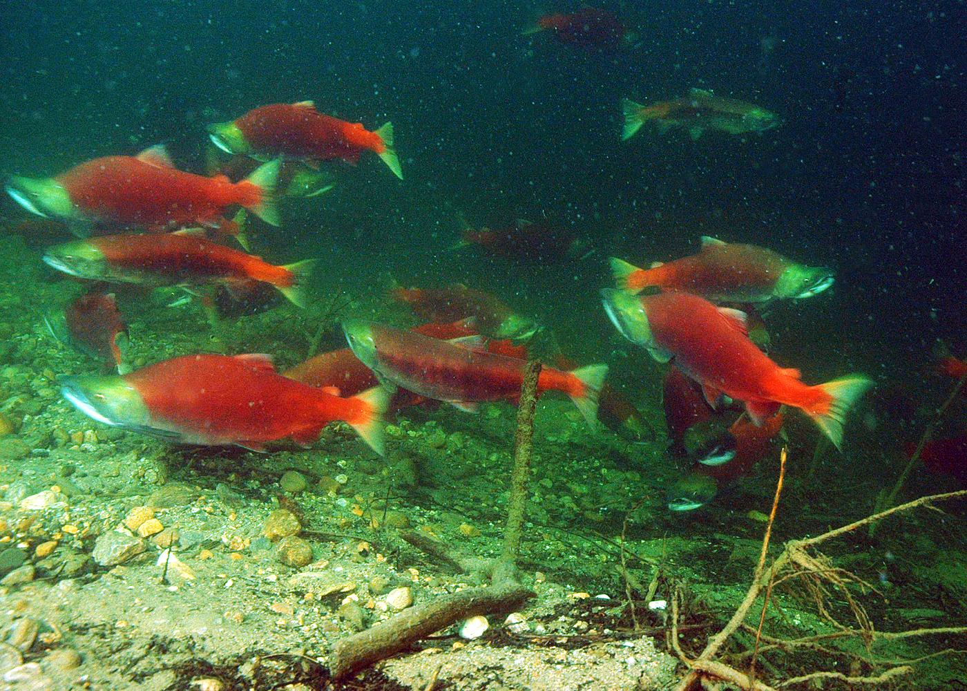 Freshwater fish canada - Salmon Run Adams River British Columbia Canada