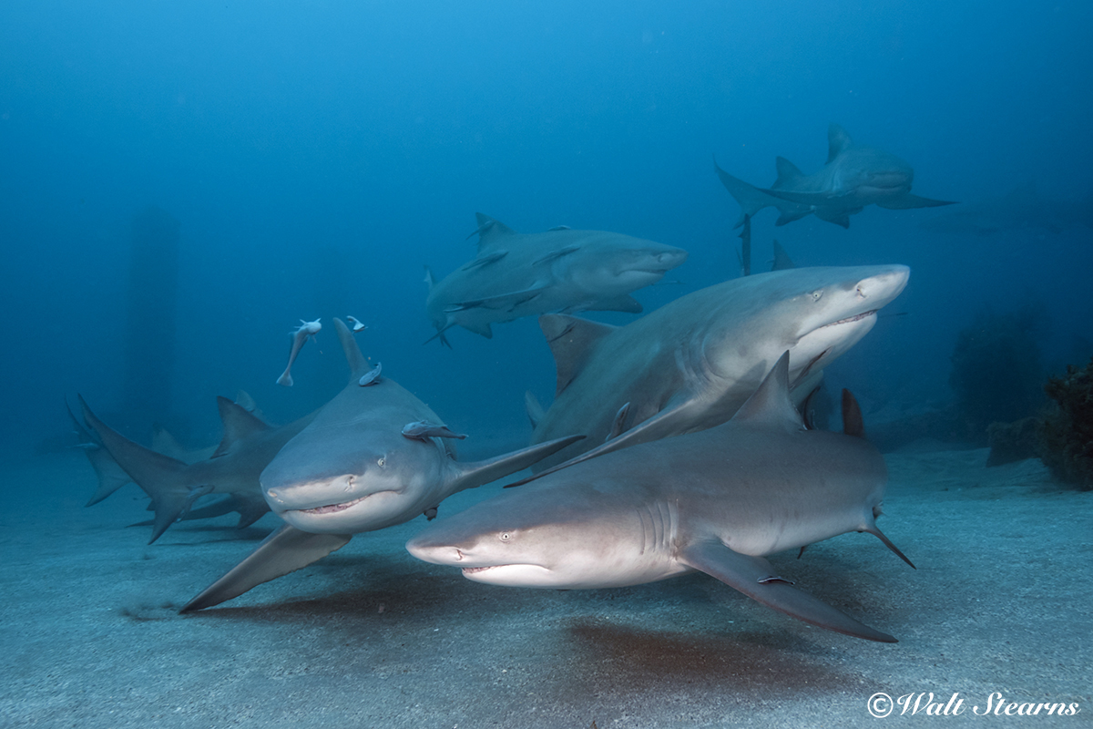 Open Season on US Coastal Sharks | X-Ray Mag
