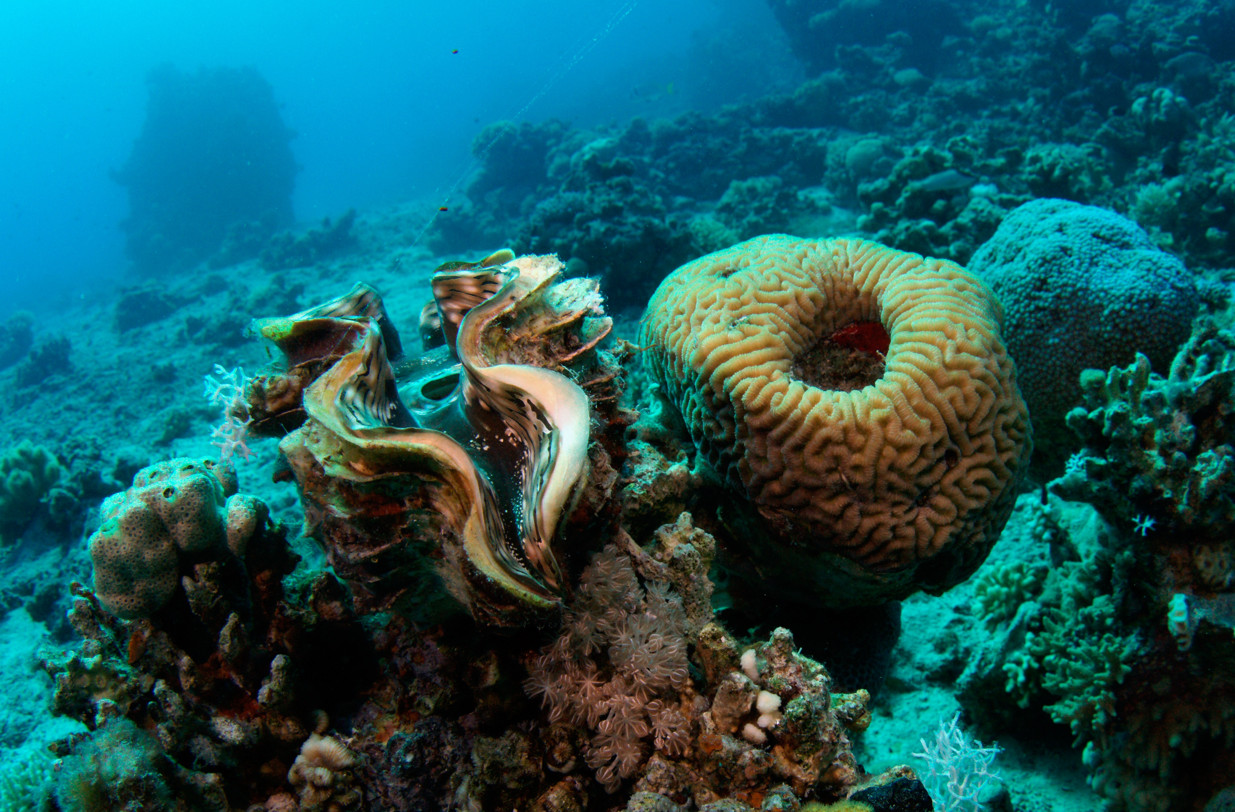 giant clams keep corals reefs healthy xray
