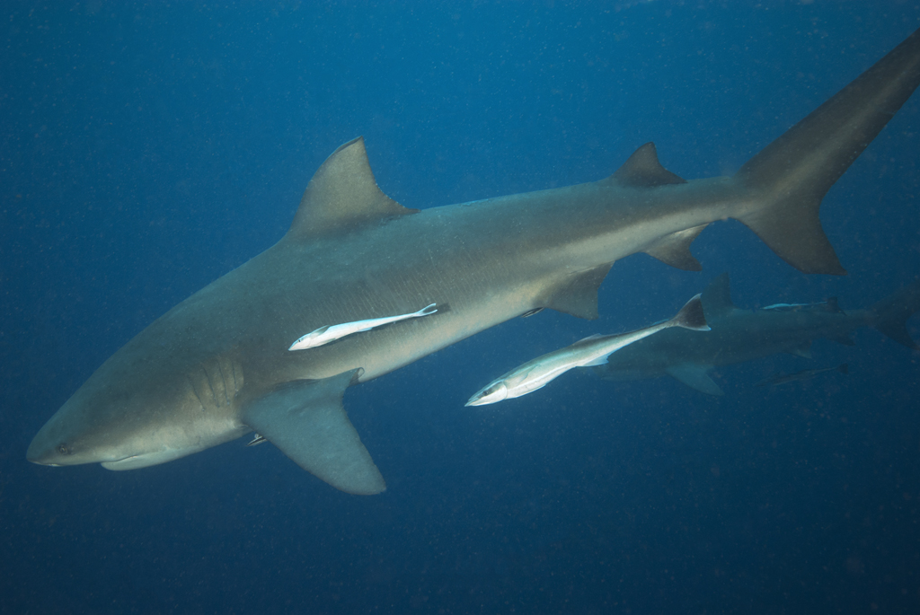 Pictures sharks of bull