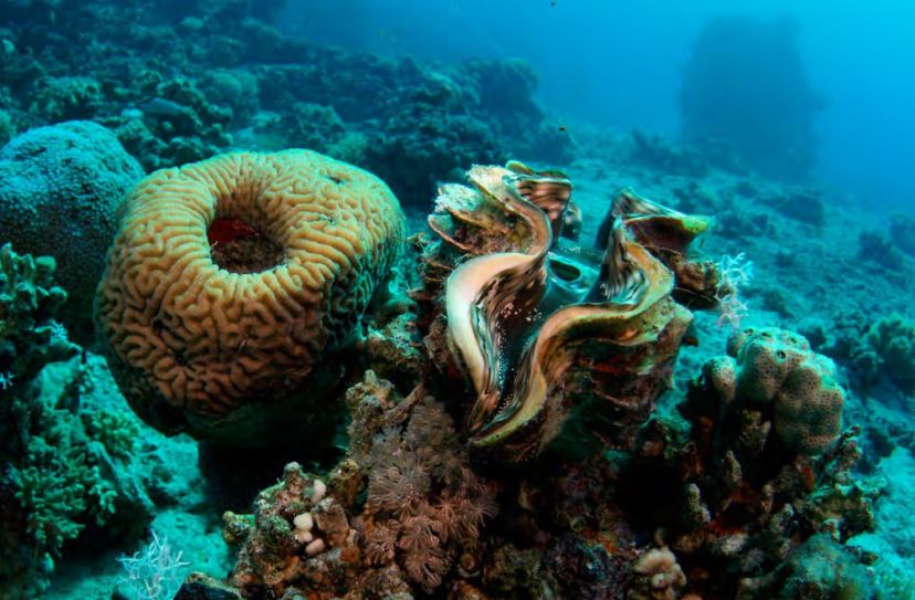giant clams keep coral reefs healthy xray mag