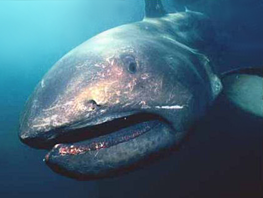 the mysterious megamouth shark x ray mag