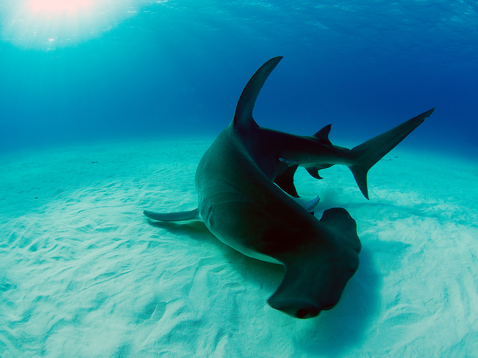 great hammerhead shark pictures - HD1600×1200