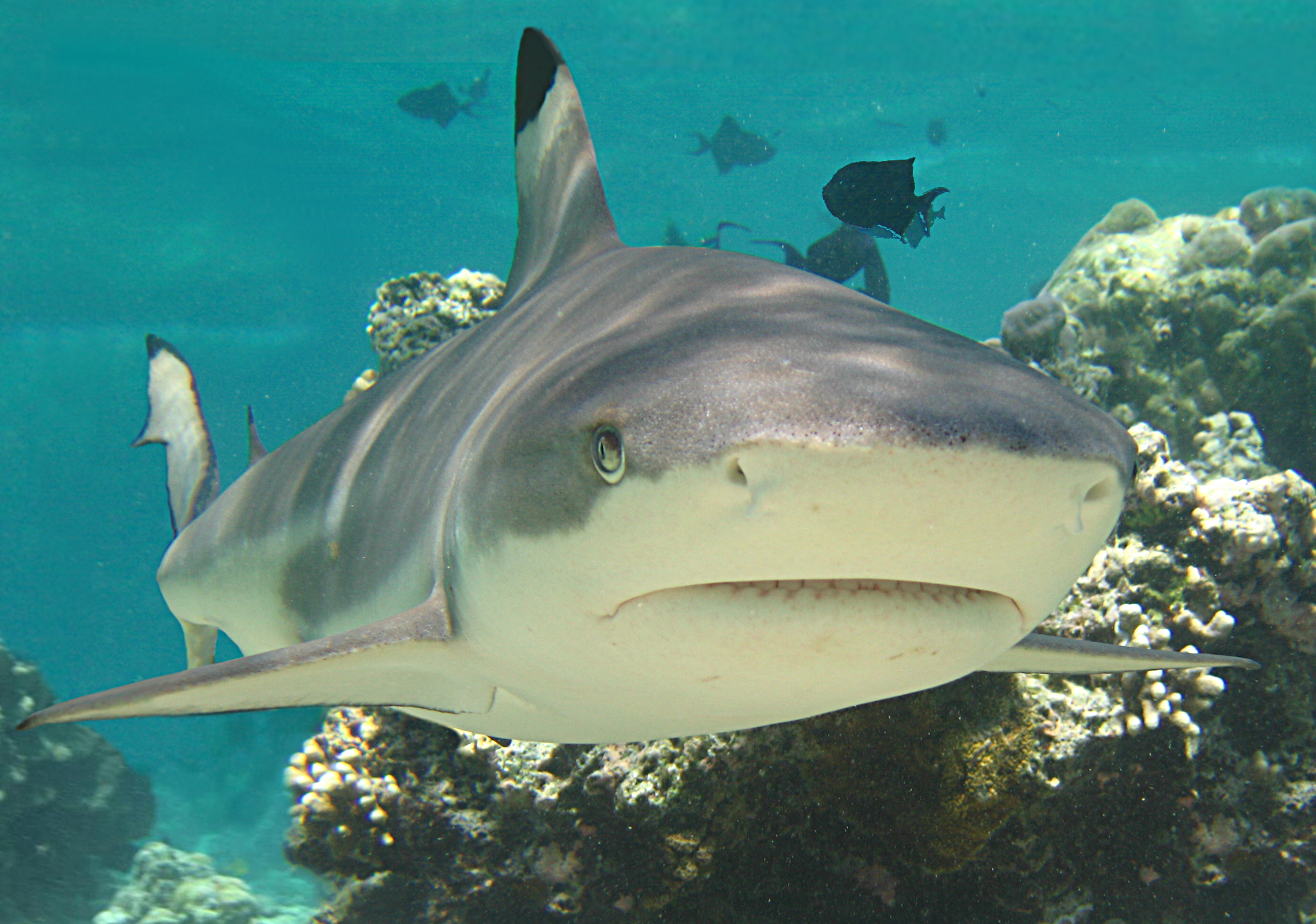 Polynesian Sharks Mouth By Cameron Rutten: Posturing Sharks