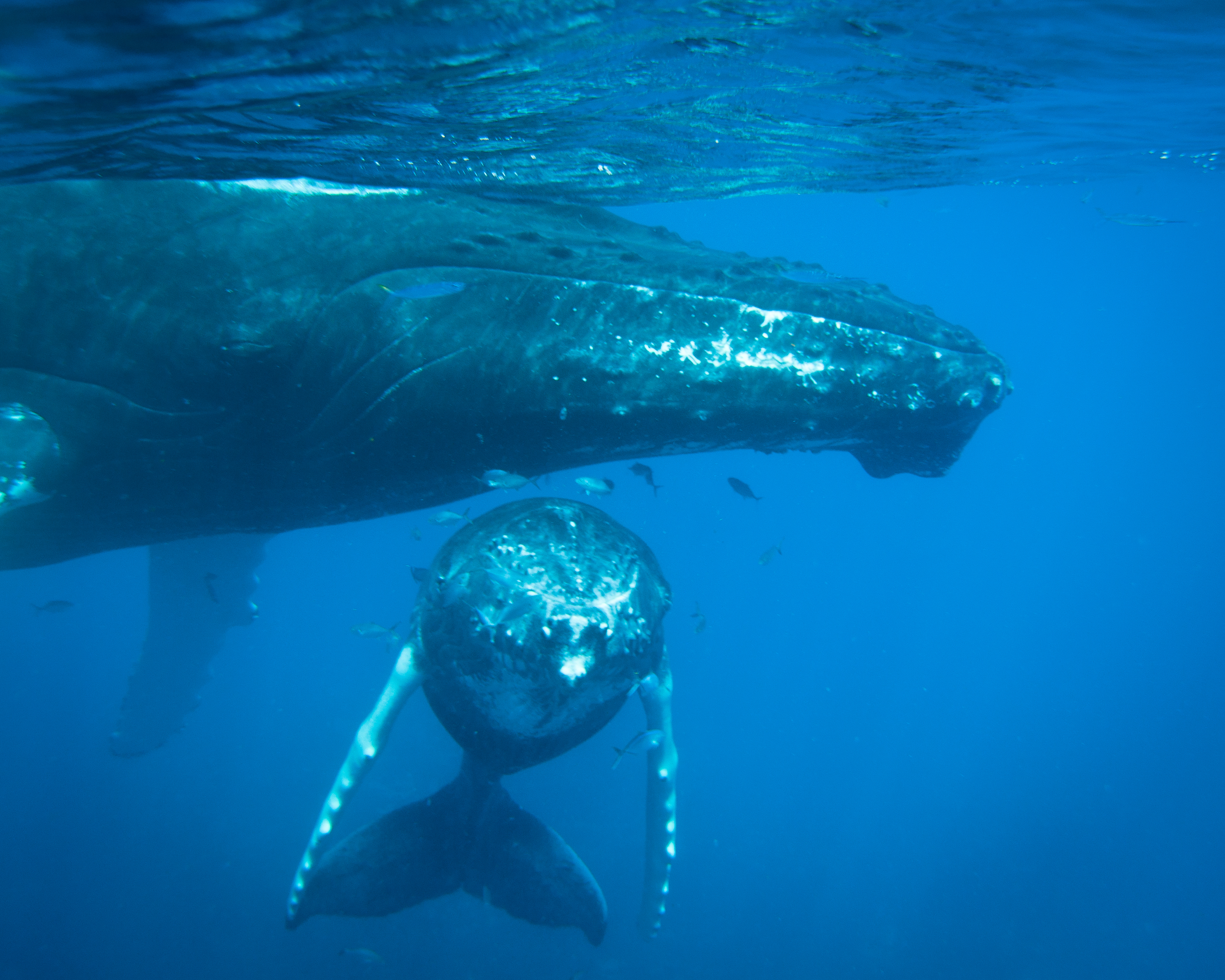 Humpback mother and calf, Dominican Republic, by Brandi Mueller