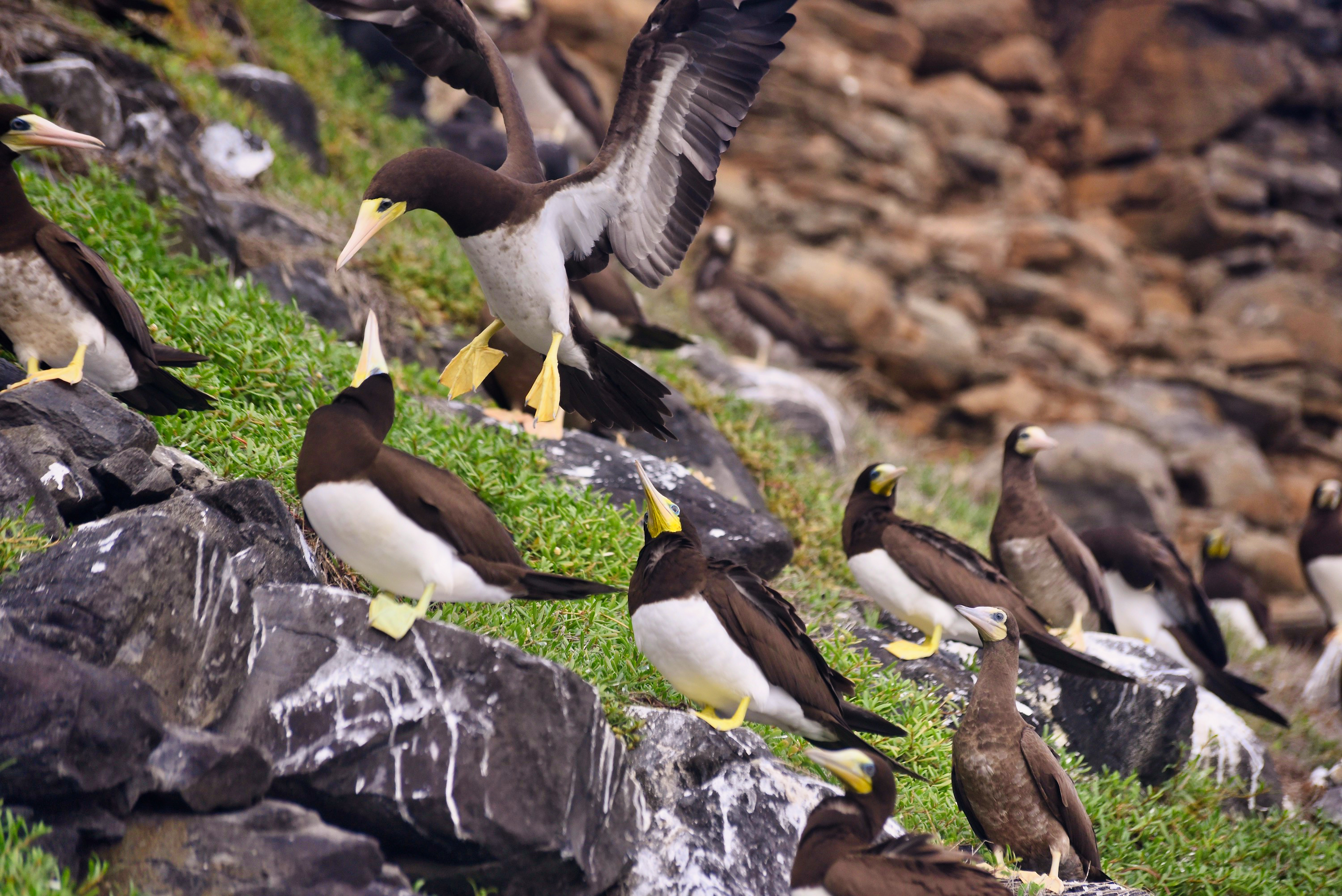 Brown booby colony at Caieiras Beach. Photo by Pierre Constant