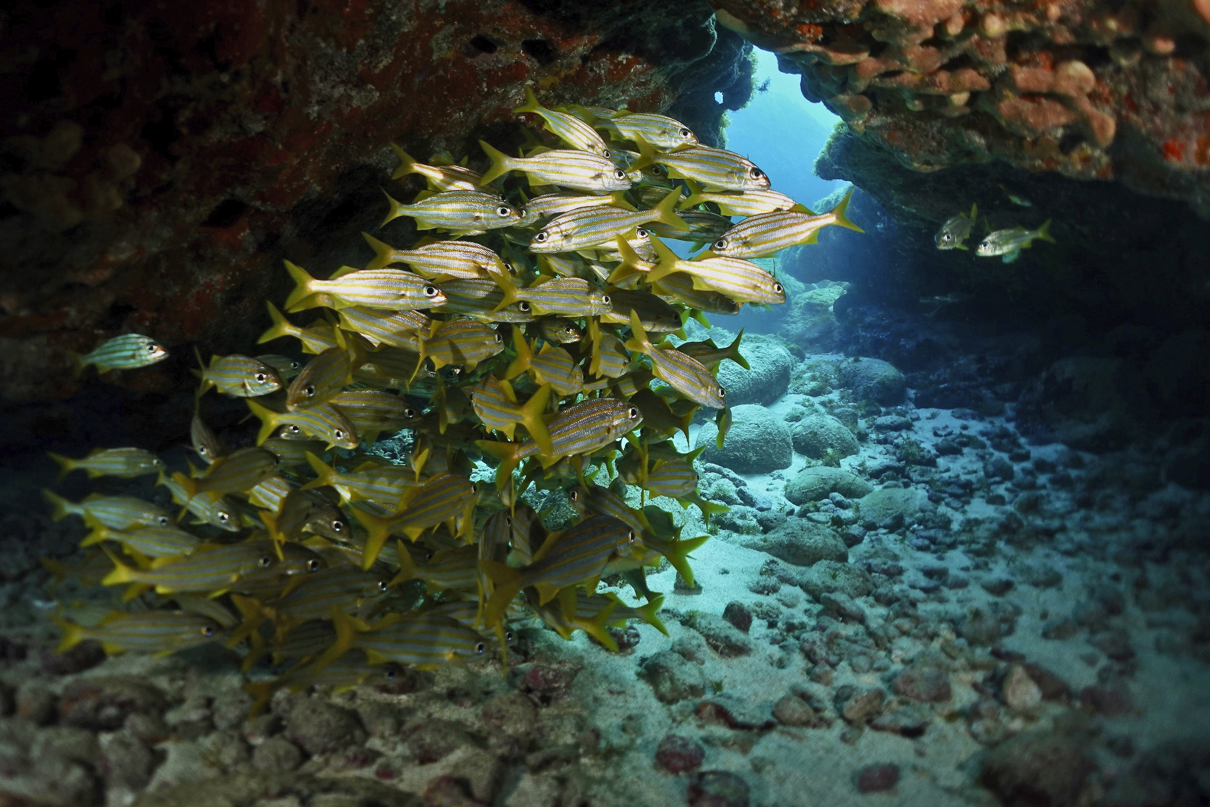 Yellowstripe grunts in a cave at  Ilha do Meio. Photo by Pierre Constant