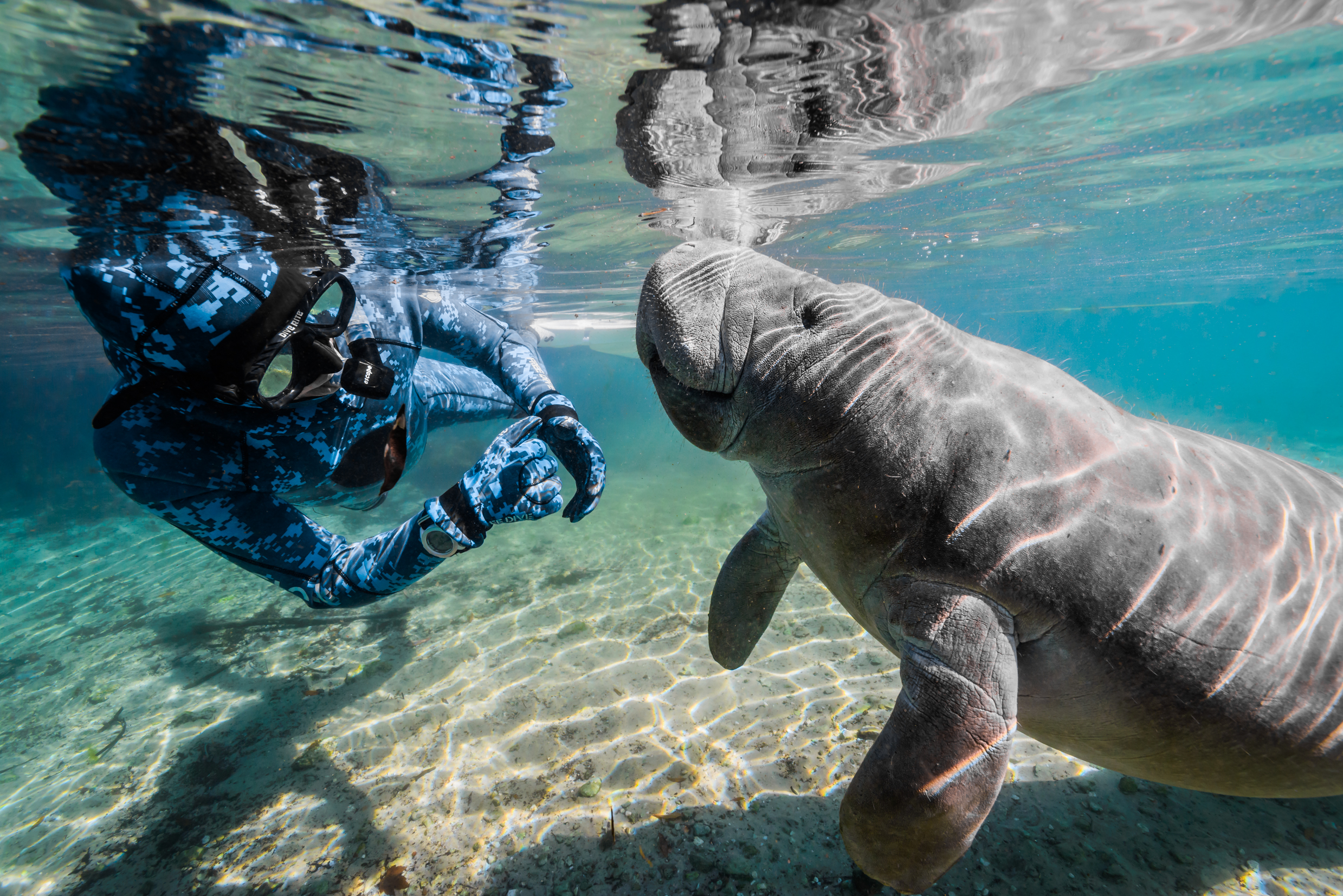 Manatee in Florida, USA, by Jennifer Idol
