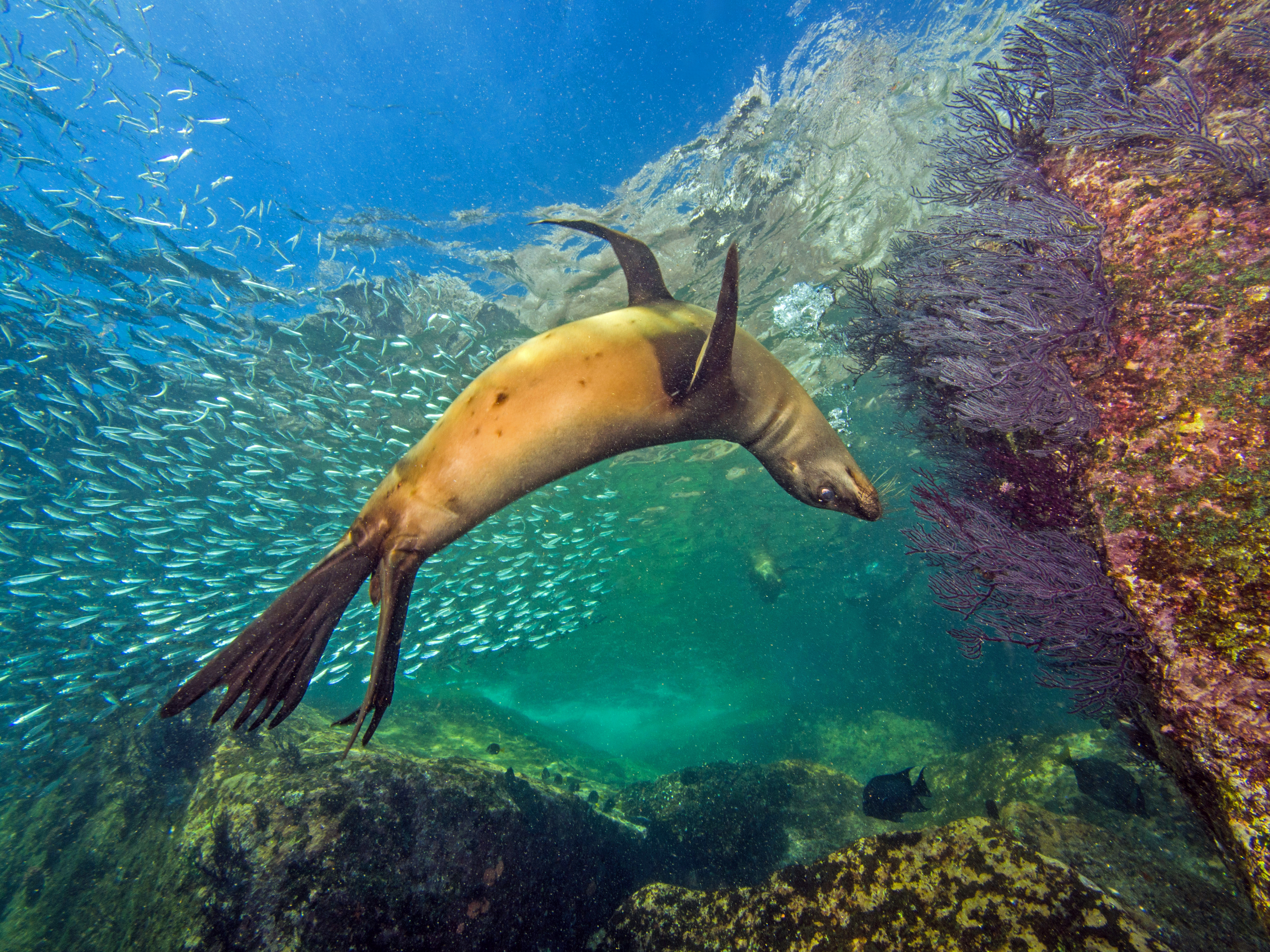 California sea lions at La Paz, Mexico, by Olga Torrey