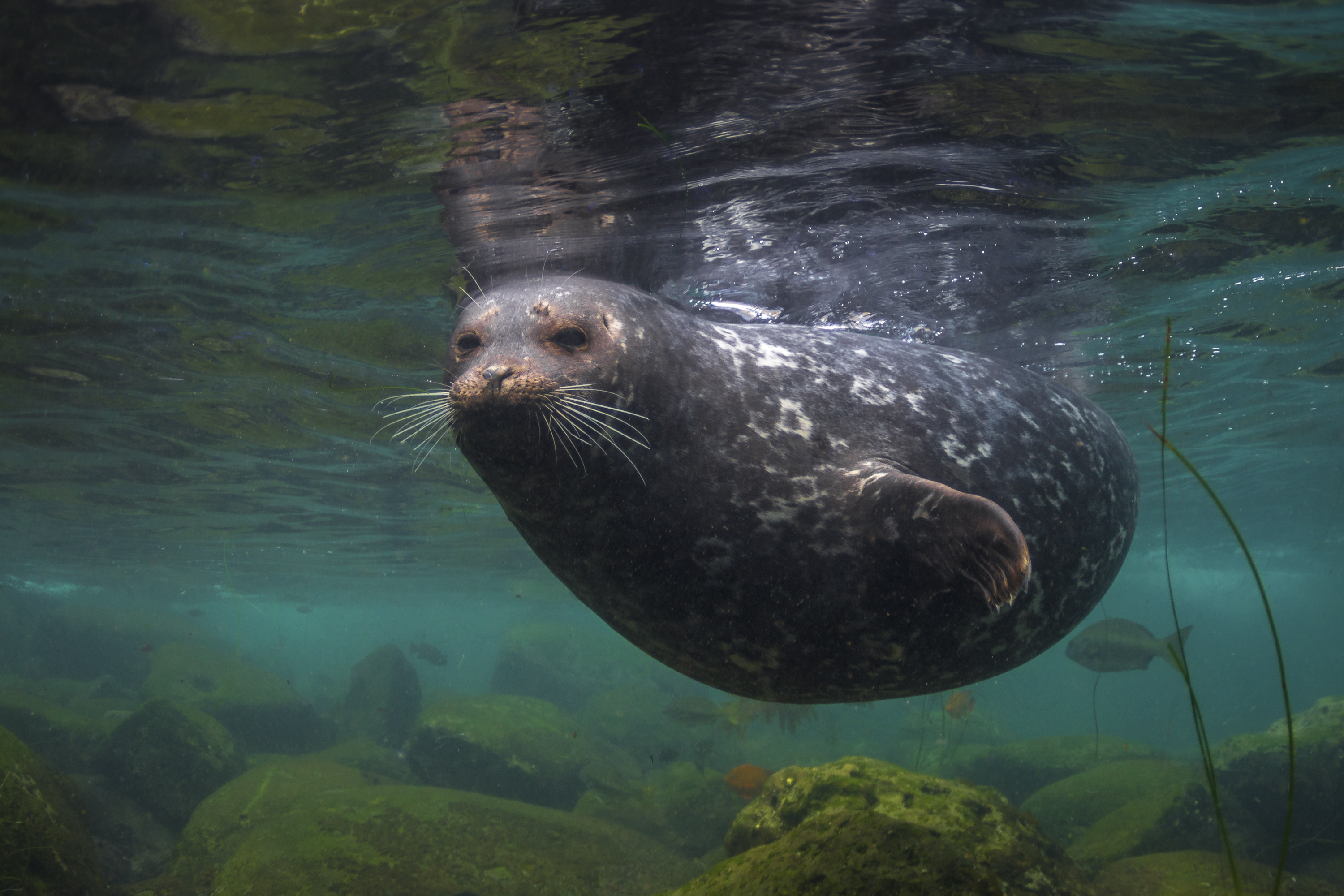 Harbor seal at La Jolla Cove in California, USA, by Frankie Grant