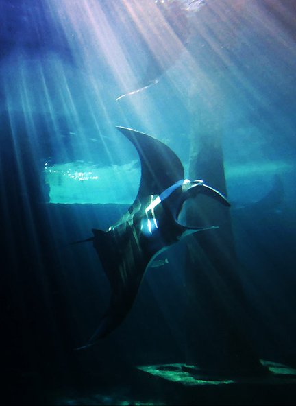 Cognition and Self Awareness in Manta Rays | X-Ray ...