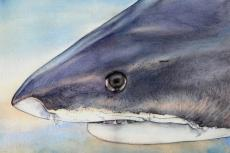 Illustration of a tiger shark by Ila France Porcher