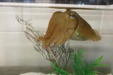 One of the common cuttlefish in the Marine Resources Center at the Marine Biological Laboratory